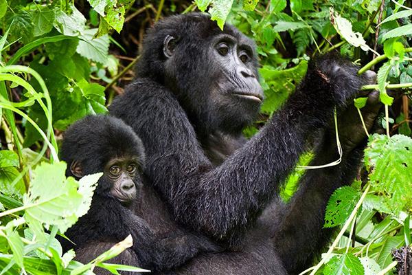 Uganda Gorilla tracking tour