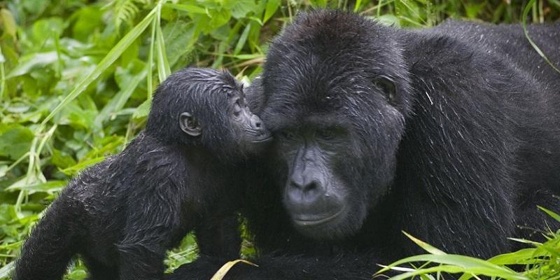 7.-gorilla-kisses