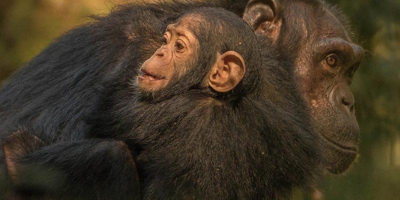kibale-chimpanzee-tracking
