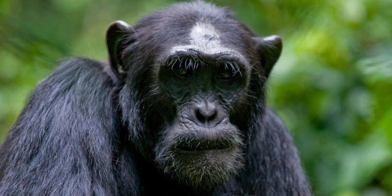 kibale-forest-chimpanzees