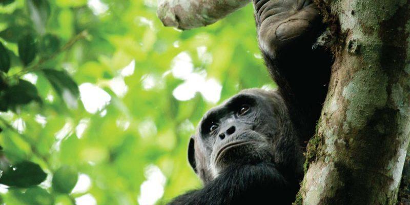 uganda-chimps-