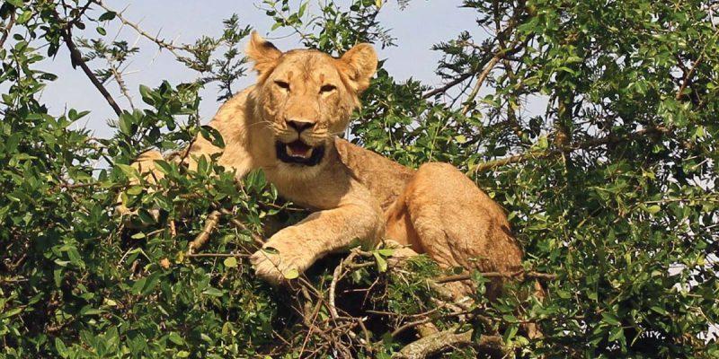 uganda-tree-lions